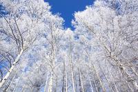 霧氷の白樺林 11076017832| 写真素材・ストックフォト・画像・イラスト素材|アマナイメージズ
