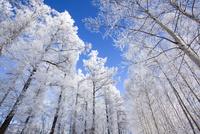 霧氷の森 11076017837| 写真素材・ストックフォト・画像・イラスト素材|アマナイメージズ
