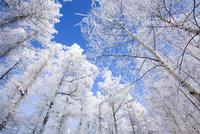 霧氷の森 11076017838| 写真素材・ストックフォト・画像・イラスト素材|アマナイメージズ
