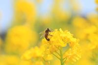 ナノハナと蜜蜂