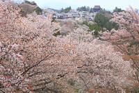 サクラ咲く吉野山 11076017980  写真素材・ストックフォト・画像・イラスト素材 アマナイメージズ