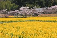 ナノハナ畑と桜並木