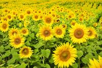 ヒマワリの花畑 11076018618| 写真素材・ストックフォト・画像・イラスト素材|アマナイメージズ