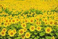 ヒマワリの花畑 11076018624| 写真素材・ストックフォト・画像・イラスト素材|アマナイメージズ