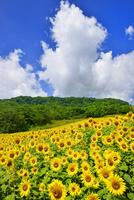 ヒマワリの花畑と青空に雲