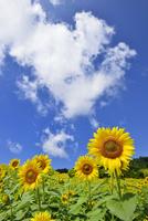 ヒマワリの花畑と青空に雲 11076018643| 写真素材・ストックフォト・画像・イラスト素材|アマナイメージズ
