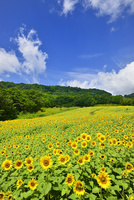 ヒマワリの花畑と青空に雲 11076018644| 写真素材・ストックフォト・画像・イラスト素材|アマナイメージズ