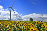 ヒマワリの花畑と風車に青空 11076018660| 写真素材・ストックフォト・画像・イラスト素材|アマナイメージズ