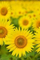 ヒマワリの花畑 11076018688| 写真素材・ストックフォト・画像・イラスト素材|アマナイメージズ