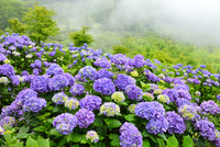 アジサイの花畑と霧 11076018722| 写真素材・ストックフォト・画像・イラスト素材|アマナイメージズ