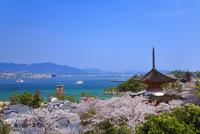宮島のサクラ 厳島神社大鳥居と瀬戸内海