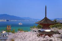 宮島のサクラ 厳島神社大鳥居と瀬戸内海 11076018820| 写真素材・ストックフォト・画像・イラスト素材|アマナイメージズ