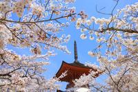 厳島神社 サクラと多宝塔