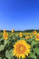 ヒマワリの花畑と青空 11076018860| 写真素材・ストックフォト・画像・イラスト素材|アマナイメージズ