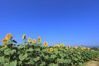 ヒマワリの花畑と青空 11076018861| 写真素材・ストックフォト・画像・イラスト素材|アマナイメージズ