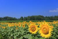 ヒマワリの花畑と青空に樹林 11076018868| 写真素材・ストックフォト・画像・イラスト素材|アマナイメージズ