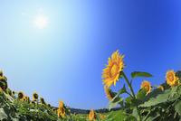 ヒマワリの花畑と青空に太陽