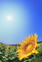 ヒマワリの花畑と青空に太陽 11076018886| 写真素材・ストックフォト・画像・イラスト素材|アマナイメージズ
