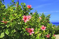 沖縄本島 ハイビスカスの花