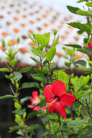 沖縄竹富島 赤瓦屋根とハイビスカスの花