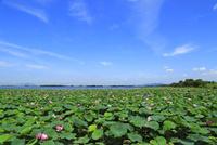 琵琶湖烏丸半島 ハスの群生 11076019755| 写真素材・ストックフォト・画像・イラスト素材|アマナイメージズ