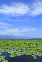 琵琶湖烏丸半島 ハスの群生 11076019757| 写真素材・ストックフォト・画像・イラスト素材|アマナイメージズ