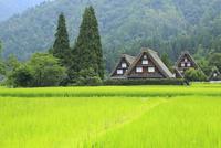 夏の白川郷 青田と合掌造り集落