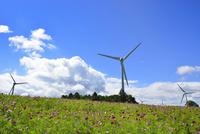コスモスの花畑に風車