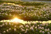 夕照のホテイアオイの花群落に反射光