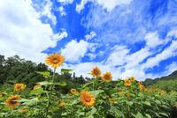 ヒマワリの花と雲 11076020382| 写真素材・ストックフォト・画像・イラスト素材|アマナイメージズ