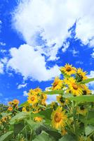 ヒマワリの花と雲