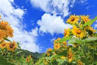 ヒマワリの花と雲 11076020386| 写真素材・ストックフォト・画像・イラスト素材|アマナイメージズ