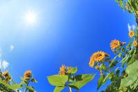 ヒマワリの花と青空に太陽