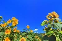 ヒマワリの花と青空に雲
