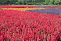 野辺山高原の花畑