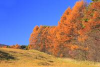 秋の草原とカラマツ紅葉 11076021101| 写真素材・ストックフォト・画像・イラスト素材|アマナイメージズ