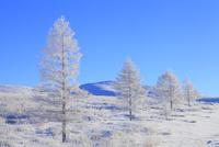 霧ヶ峰高原 カラマツ霧氷と青空 11076021119| 写真素材・ストックフォト・画像・イラスト素材|アマナイメージズ