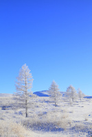 霧ヶ峰高原 カラマツ霧氷と青空 11076021120| 写真素材・ストックフォト・画像・イラスト素材|アマナイメージズ