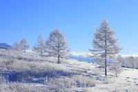 霧ヶ峰高原 カラマツ霧氷と青空 11076021121| 写真素材・ストックフォト・画像・イラスト素材|アマナイメージズ