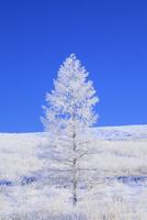 霧ヶ峰高原 カラマツ霧氷と青空 11076021122| 写真素材・ストックフォト・画像・イラスト素材|アマナイメージズ