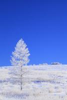 霧ヶ峰高原 カラマツ霧氷と青空 11076021123| 写真素材・ストックフォト・画像・イラスト素材|アマナイメージズ
