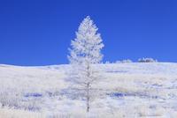霧ヶ峰高原 カラマツ霧氷と青空 11076021124| 写真素材・ストックフォト・画像・イラスト素材|アマナイメージズ