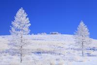 霧ヶ峰高原 カラマツ霧氷と青空 11076021125| 写真素材・ストックフォト・画像・イラスト素材|アマナイメージズ