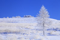 霧ヶ峰高原 カラマツ霧氷と青空 11076021126| 写真素材・ストックフォト・画像・イラスト素材|アマナイメージズ