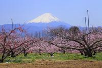 新府桃源郷 桃の花と富士山