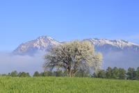 野辺山高原 草原にヤマナシの木と八ヶ岳に雲海