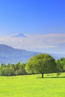 清里高原 新緑の木と富士山