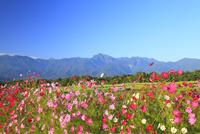 コスモスと南アルプス・甲斐駒ヶ岳