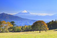 清里高原 富士山と紅葉の木 11076021249| 写真素材・ストックフォト・画像・イラスト素材|アマナイメージズ