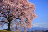 王仁塚の桜と八ヶ岳 11076021328| 写真素材・ストックフォト・画像・イラスト素材|アマナイメージズ